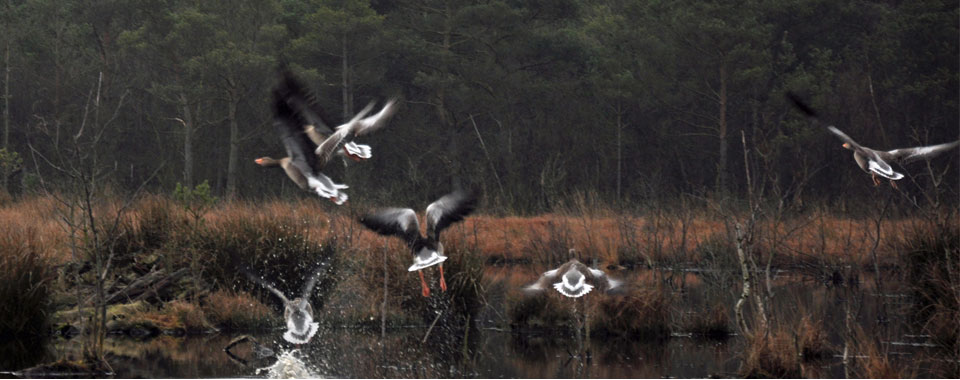 Geese Landing on Skipwith Common